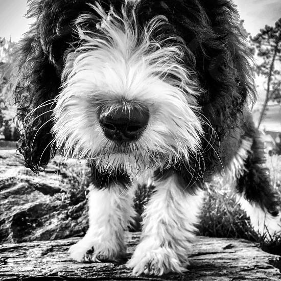 Sheepadoodle puppy photo