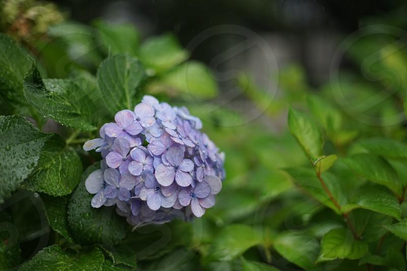 Hydrangea of the rainy day photo