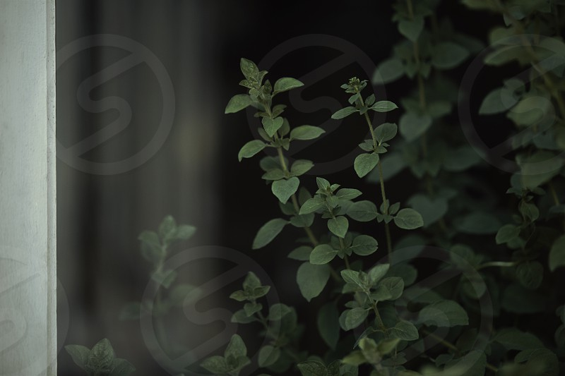 Oregano was planted inside of a living room by the window with the dark background shot from outside of the house with window glaze and window frame on the left-hand side of the image. photo