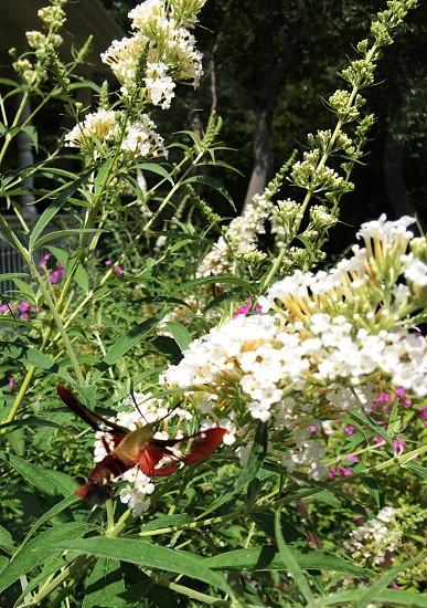 The Hummingbird hawk-moth photo