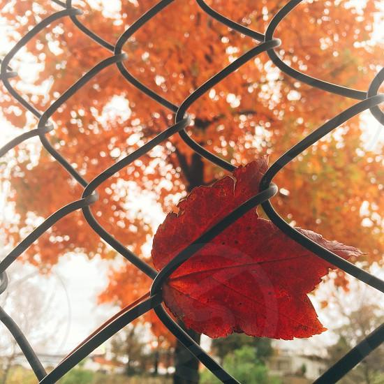 leaf on black cyclone fence photo