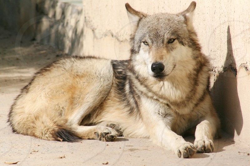 white black and gray wolf laying on ground photo