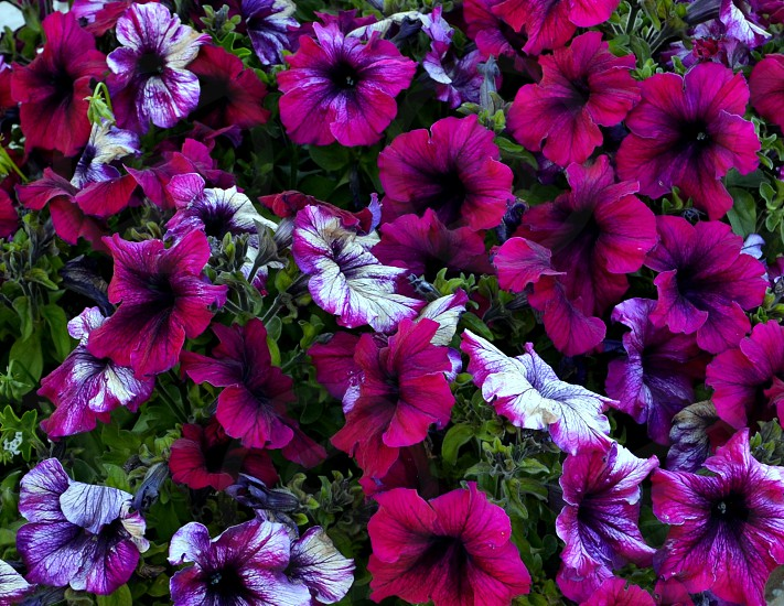 colorpurpleflowerspetuniabotanicgarden photo