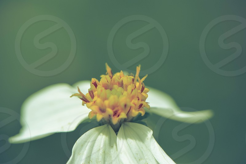 White flower spring yellow pollen  photo