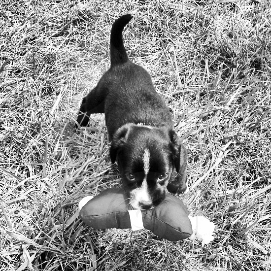 black and white puppy biting pillow on grass photo