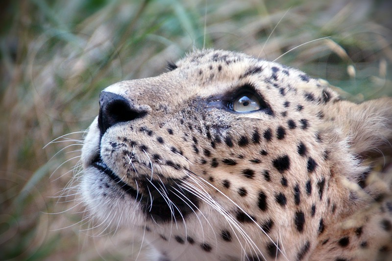 Cheetah looking up on the grass background photo