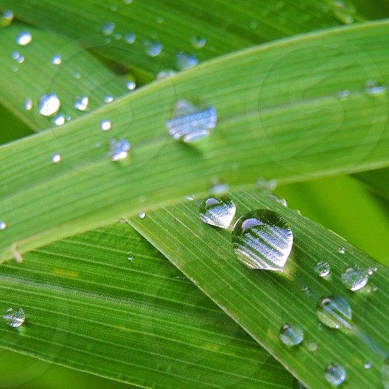 clear water drops on green leafs photo