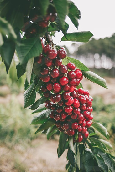 Huge bunch of bright red cherries hanging from a tree branch photo