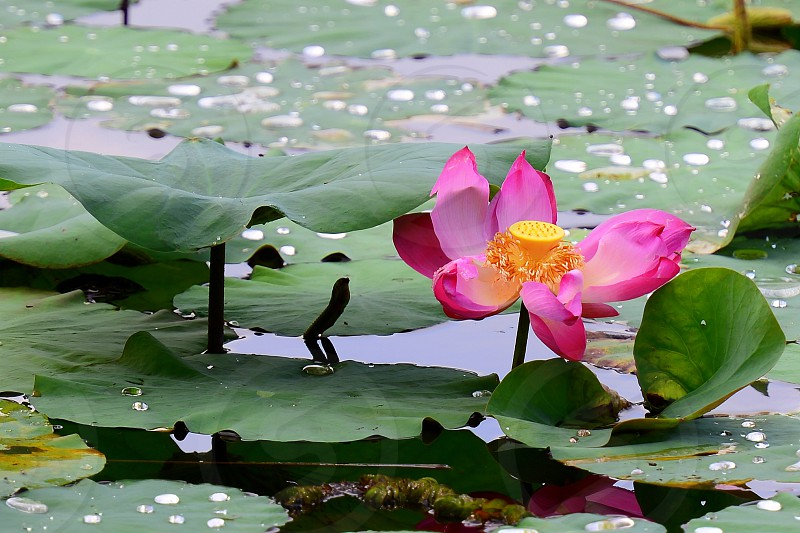 The Sacred Lotus blooms in adversity out of the mud of your fears struggles pain and confusion in life; It is spiritually peace tranquility everything zen. photo