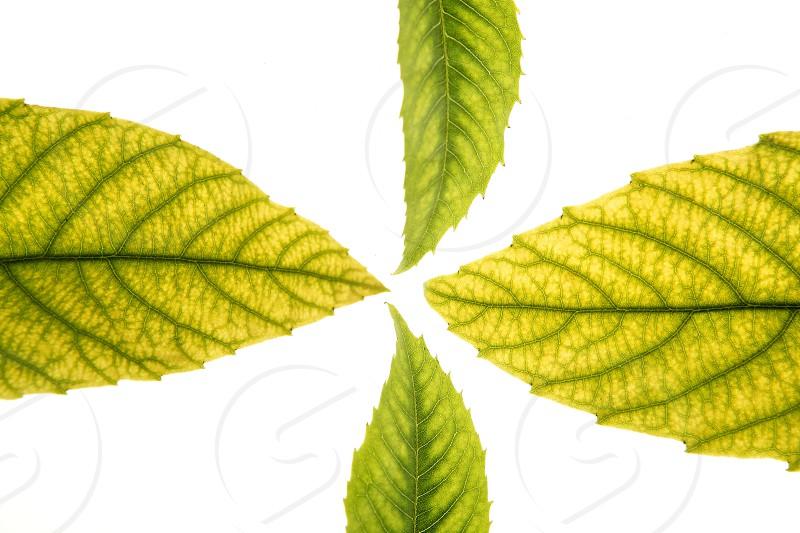 Green leaves in vibrant green medlar ceiba white studio background photo