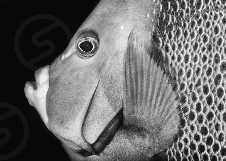 A gray angelfish portrait in black and white. photo