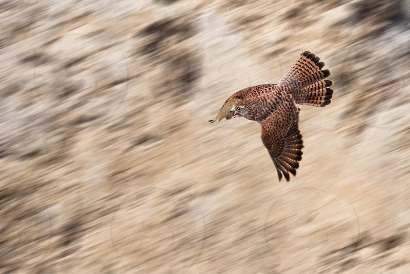 kestrel bird of prey hunting speed flight cliff nature wild wildlife Portugal panning photo