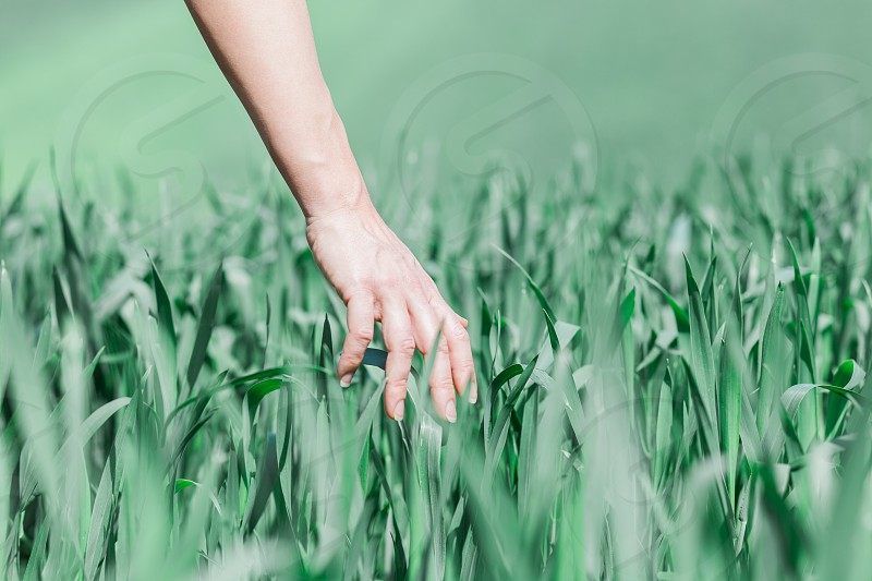 Close-up of the hand touching the wheat in the field photo