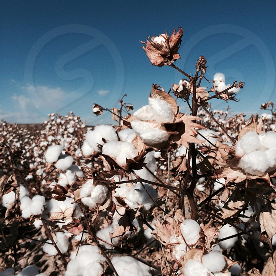 white cotton like flower photo  photo