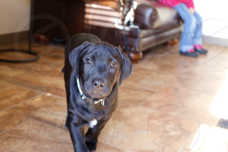 black Labrador retriever on brown ceramic tile flooring while looking at the camera photo