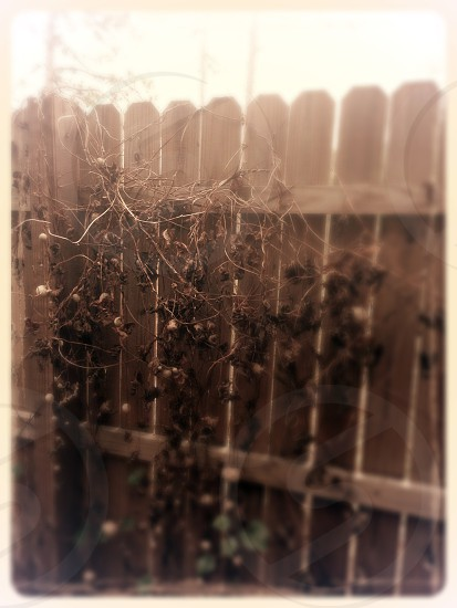 Fence & vines photo