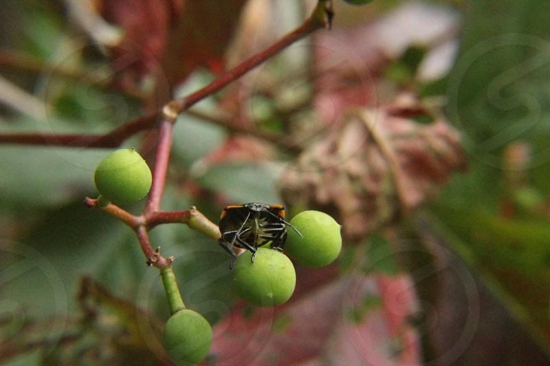black and orange shield bug on green round fruit during daytime photo