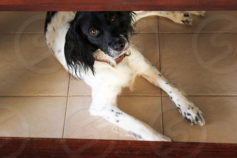 black and white long haired dog under table photo