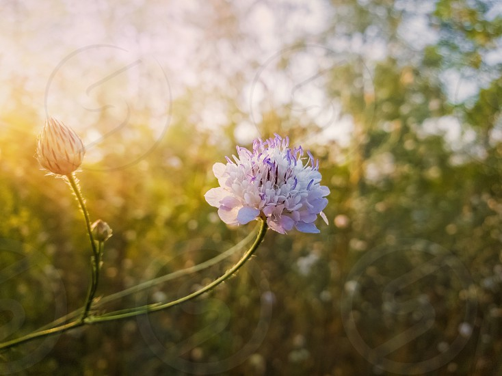 White form of Field scabious (Knautia arvensis) with purple pistils flowering in the steppe nature. Tiny wildflowers closeup. photo