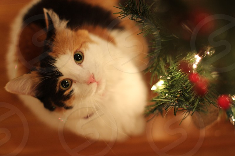 Cat looking at a garland with Christmas lights. photo