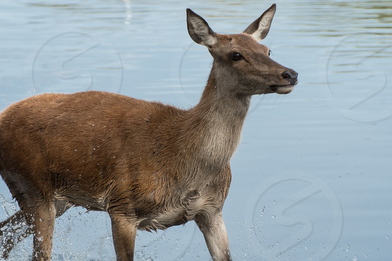 Female red deer crossing a stretch of water during the rutting season photo