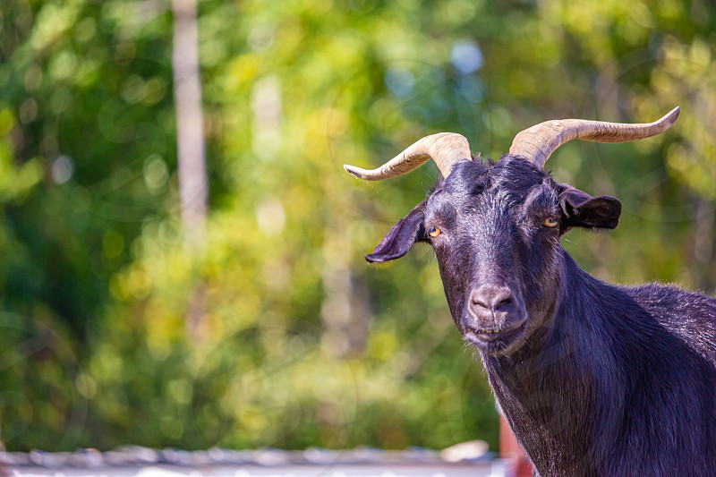 A black horned goat looks towards the camera in focus against a blurred background of green foliage. photo