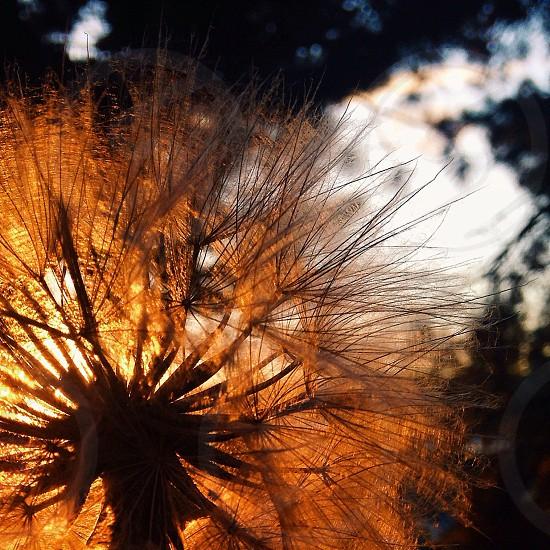 view of dandelion photo
