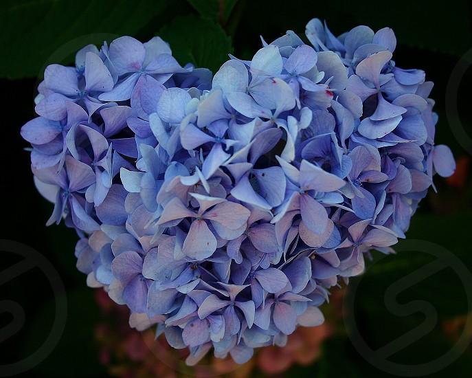 Purple love - a heart shaped purple hydrangea very unique.  Purple challenge. photo