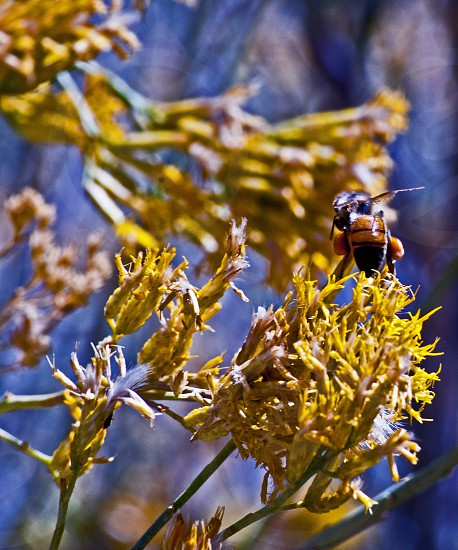 Honey Bee collecting pollen in Los Padres National forest photo