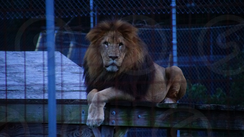 King of the Jungle Lion photo