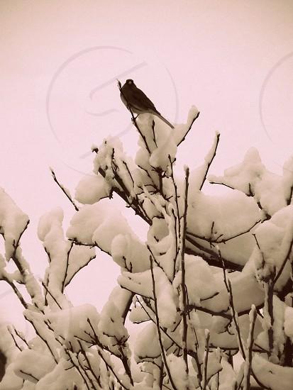 Snowbird  photo