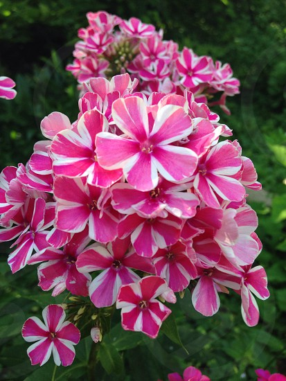 The pink flowers rise about the sea of green below it  photo