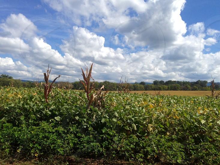Corn field Maryville TN photo