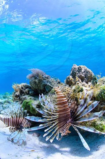 Lionfish on piece reef in the Florida Keys.  Lionfish invader Florida Keys underwater scuba photo