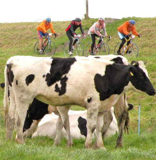 wielrenners  racen langs een dijk Suggestie dragende koeien. Waterland oost Nederland photo