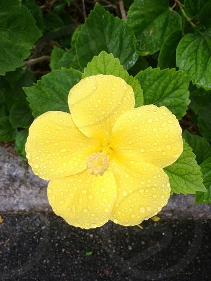 yellow hibiscus flower closeup photo photo