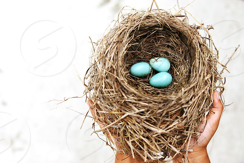 robin's nest three eggs child holding nest photo