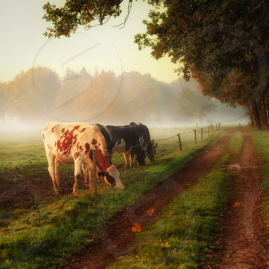 animals cows dairy cows dairy cows grazing cows on country road farm setting fall  photo