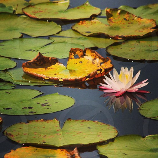 Lotus blooming over lily pads and it's reflection photo