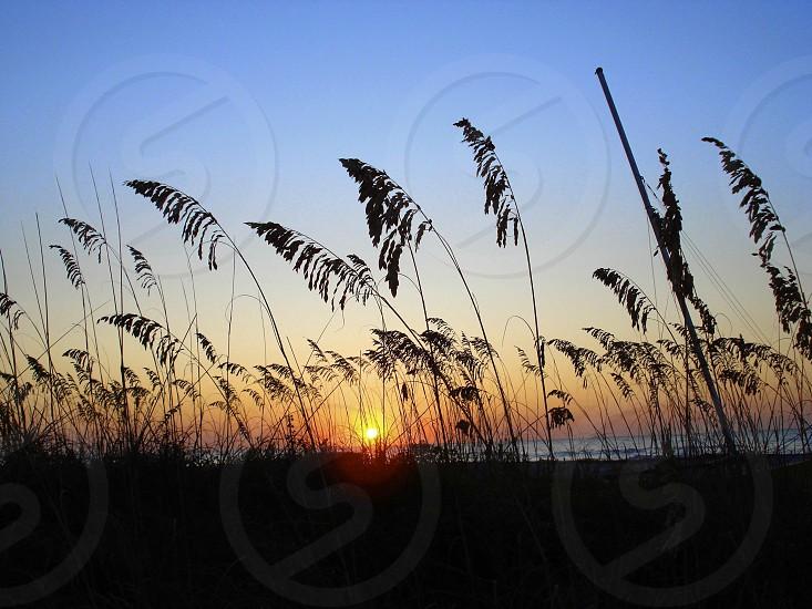 Sea grass at sunrise. Hilton Head Island SC photo