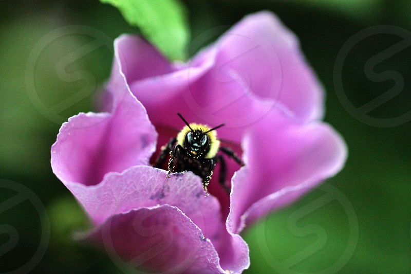 pink flower with a bumblebee photo