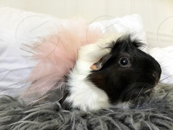 Guinea pig cavy wearing a pink tutu photo