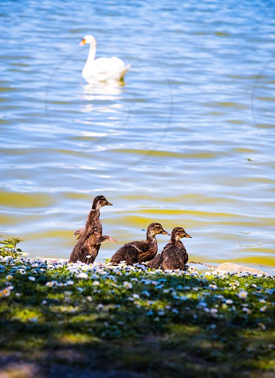 Animal animals bird birds fly flying trying spring springtime swan duck ducks kids children lake puddle pond water summer nature background  life family photo