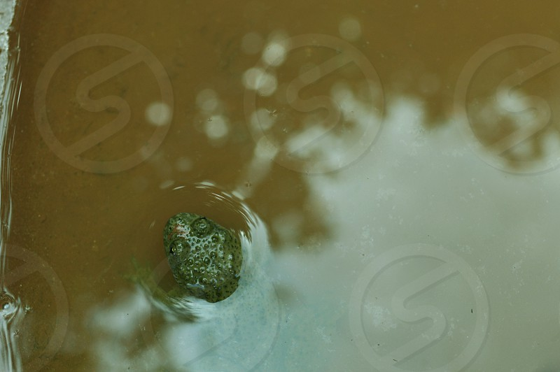 green frog in brown water photo
