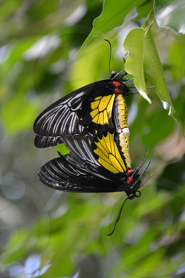 black and yellow couple butterfly photography  photo