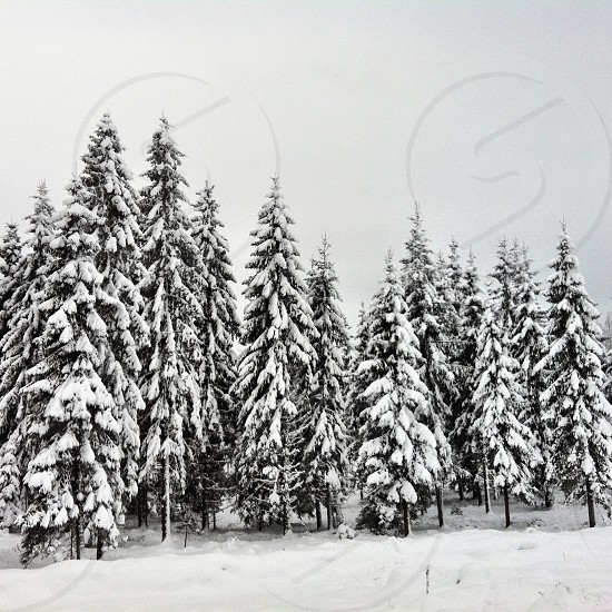 snow filled pine trees photo