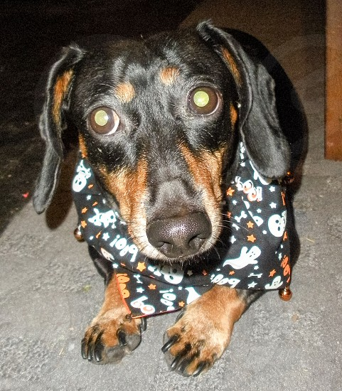 Black and Tan weenie dog on his Halloween costume. photo