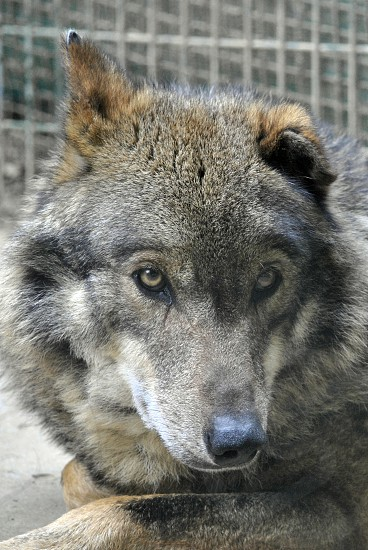 gray and brown wolf outdoors during daytime photo