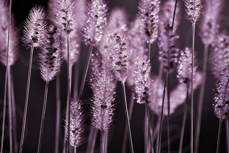 purple color of a type of wheat plant photo