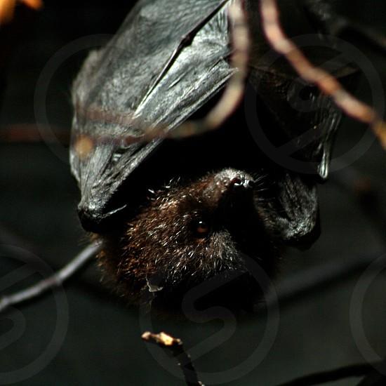 Bat sleeping bat resting bat animal sleep photo